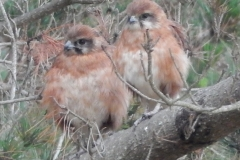 Baby Brown Falcons - Twitchers paradise